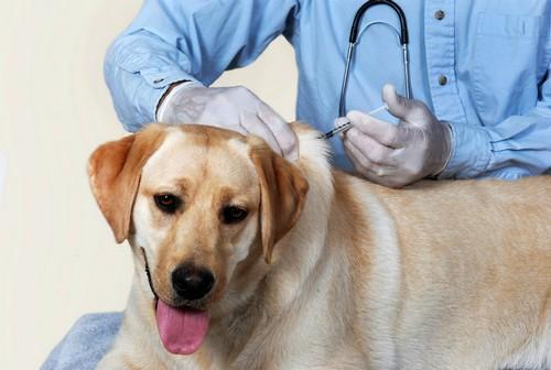 Повторно заболеть энтеритом животные не могут