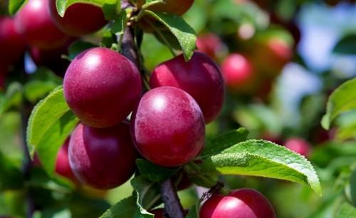 В состав этого удивительного фрукта входят витамины а, с, р, в1, в2