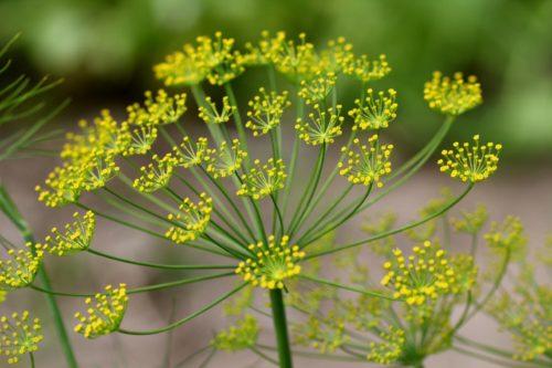 Укроп принадлежит к монотипному роду травянистых растений семейства Зонтичных