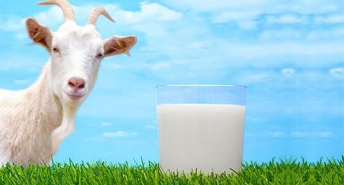 Плюсы козьего молока при панкреатите и методы его использования
