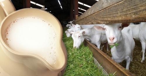 Козье молоко разрешается употреблять при панкреатите и в детском возрасте