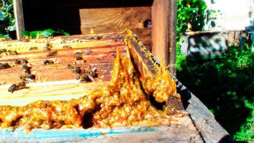 Пчелиный клей выступает как регенерирующее средство